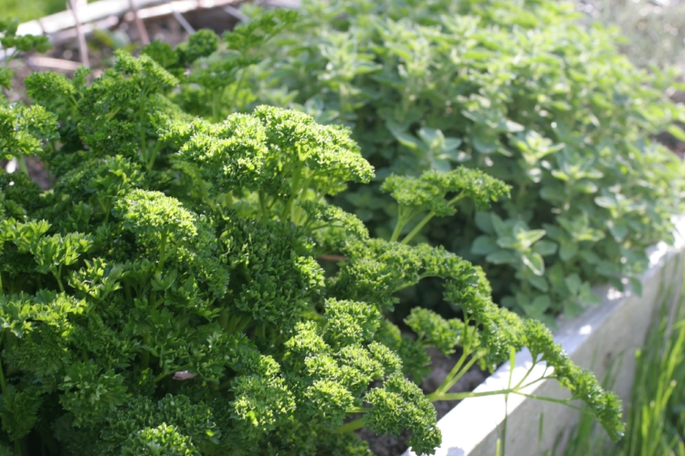 Parsley and Oregano