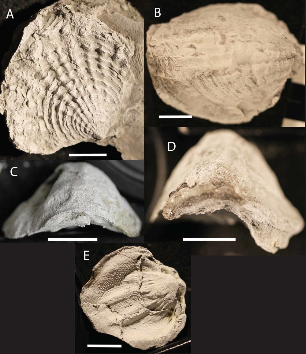 Figure 6. Various specimens of  Spinatrypa  sp. from the Upper Devonian. The Atrypids are great indicators of the Lower and Upper Kellwasser event with all Atrypids going extinct during the latter. These specimens are currently under taxonomic revision.