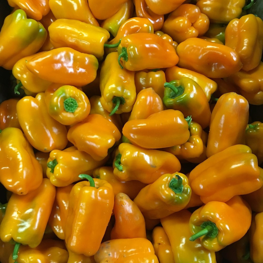 helsing junction farms csa yellow bell peppers