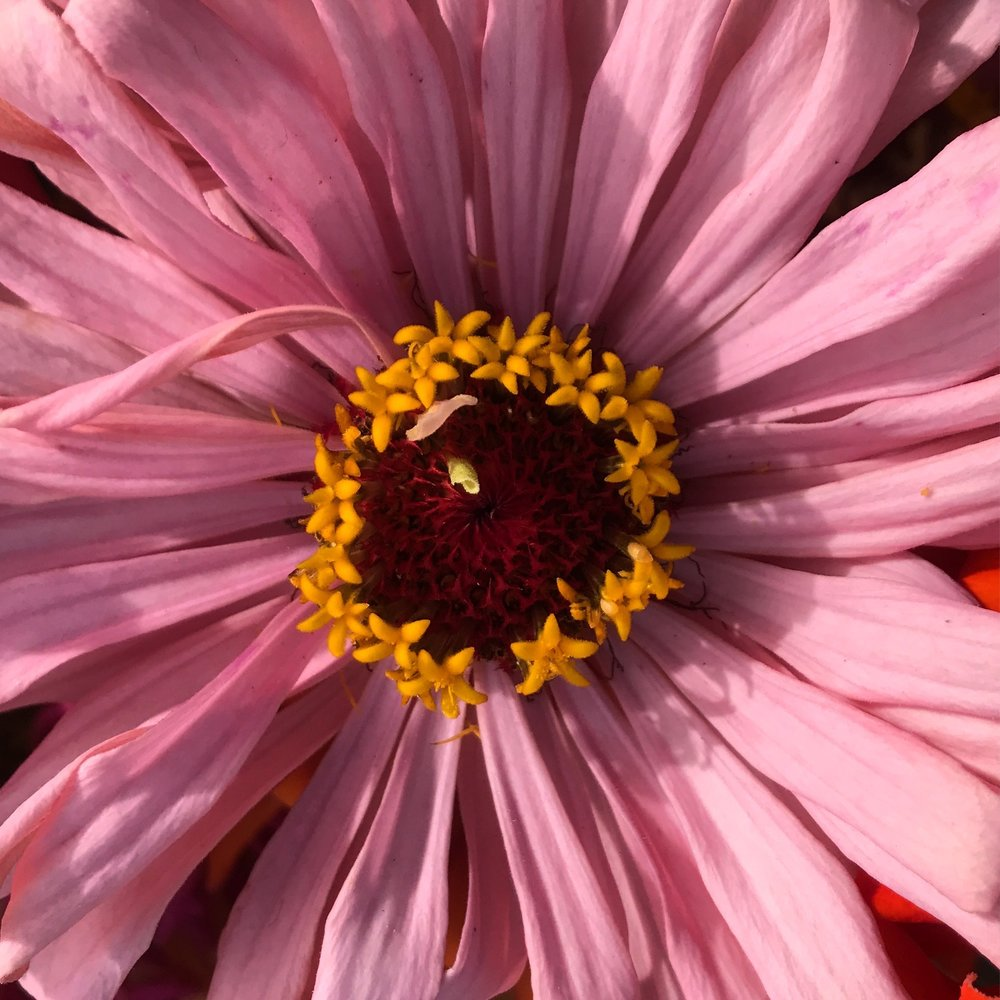 helsing junction farm csa flower zinnia