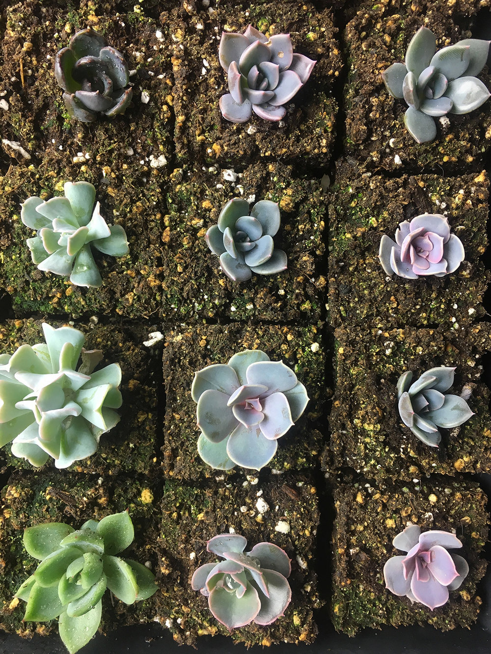 Succulents growing happily in their 2-inch soil blocks.