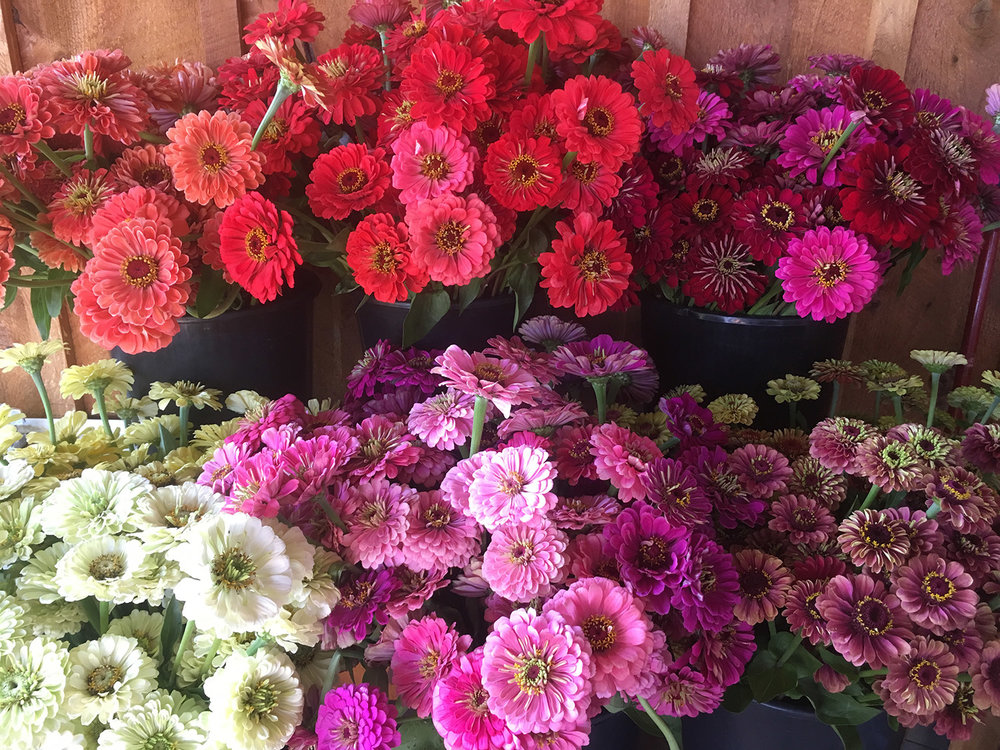 Ridiculous bounty in July. Top row, left to right: 'Salmon Rose', 'Coral', 'Deep Red' and 'Uproar Rose'. Bottom row, left to right: Benary's 'White', 'Bright Pink' and 'Purple,' 'Queen Red Lime' and 'Queen Lime Blush/Blotch'.