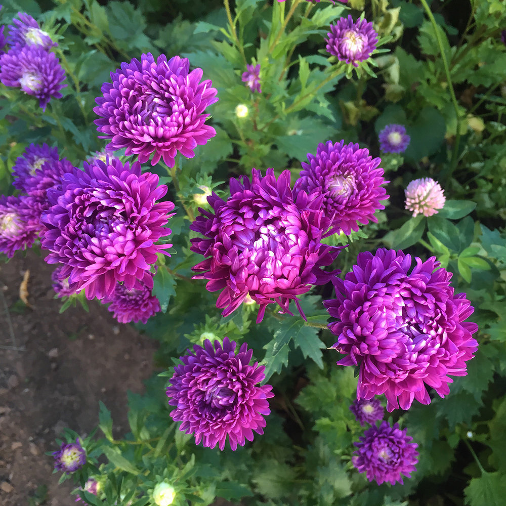 China Aster 'Tower Violet'