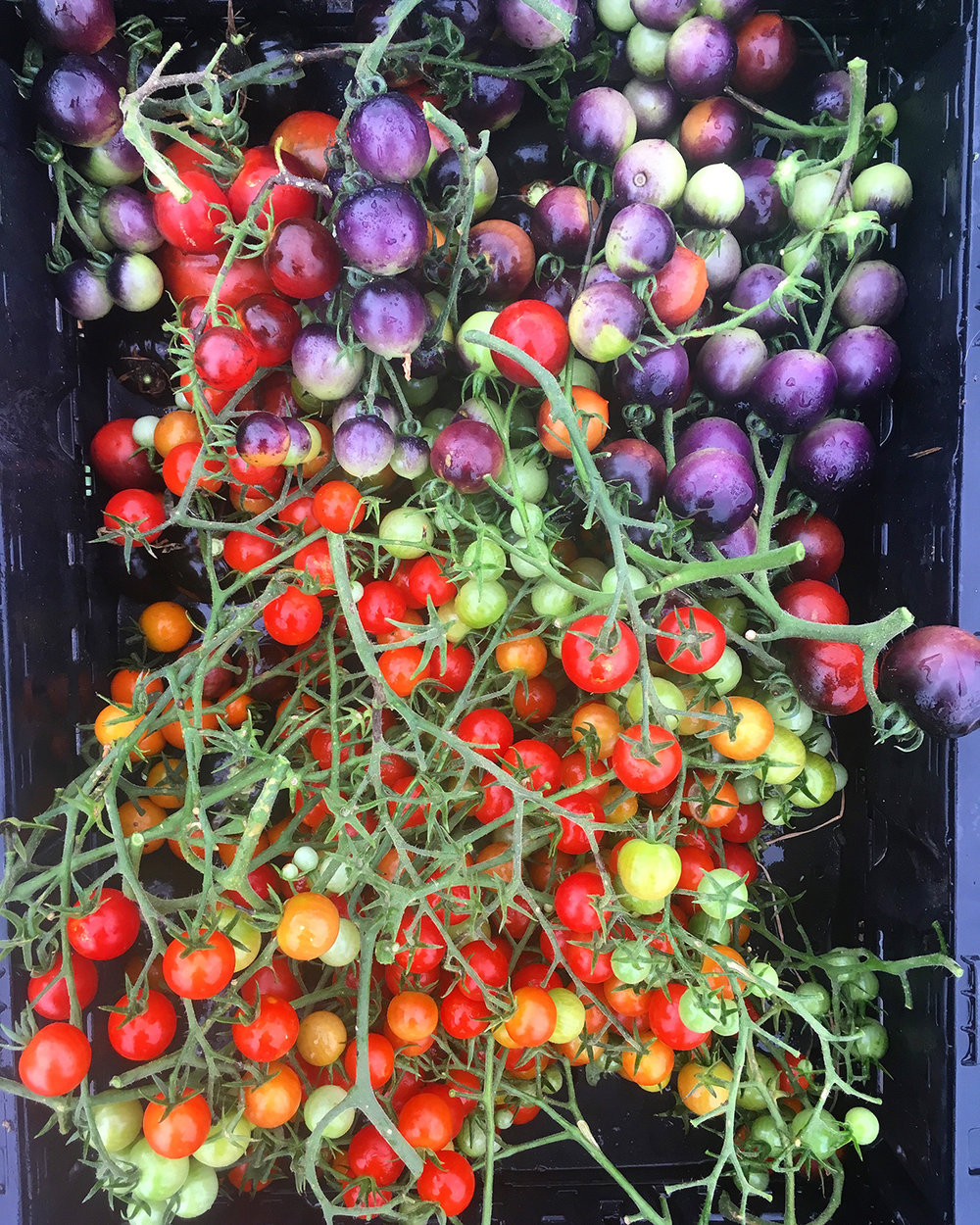Tomatoes 'Supersweet 100', 'Sungold', and 'Indigo Cherry Drops'.