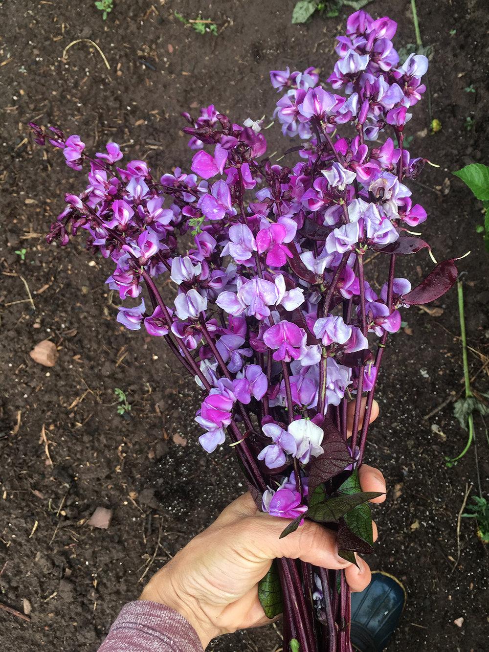 Glorious hyacinth bean,  Dolichos lablab.
