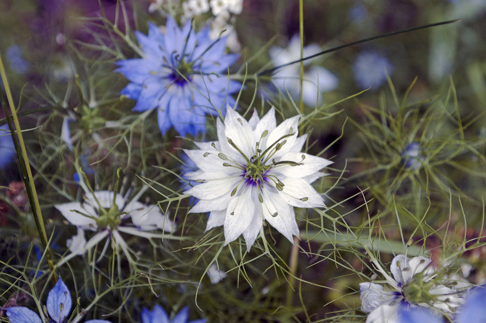 "Nigella,  Nigella damascena , 'Moody Blues':  GeoSeed promises 30"" stems on this cultivar, with multiple shades of blue on one plant. We'll see, but I'd love something in blue to match the splendor and stem-length of my favorite white variety, 'Cramer's Plum Loco'. Seeds from  Geo."