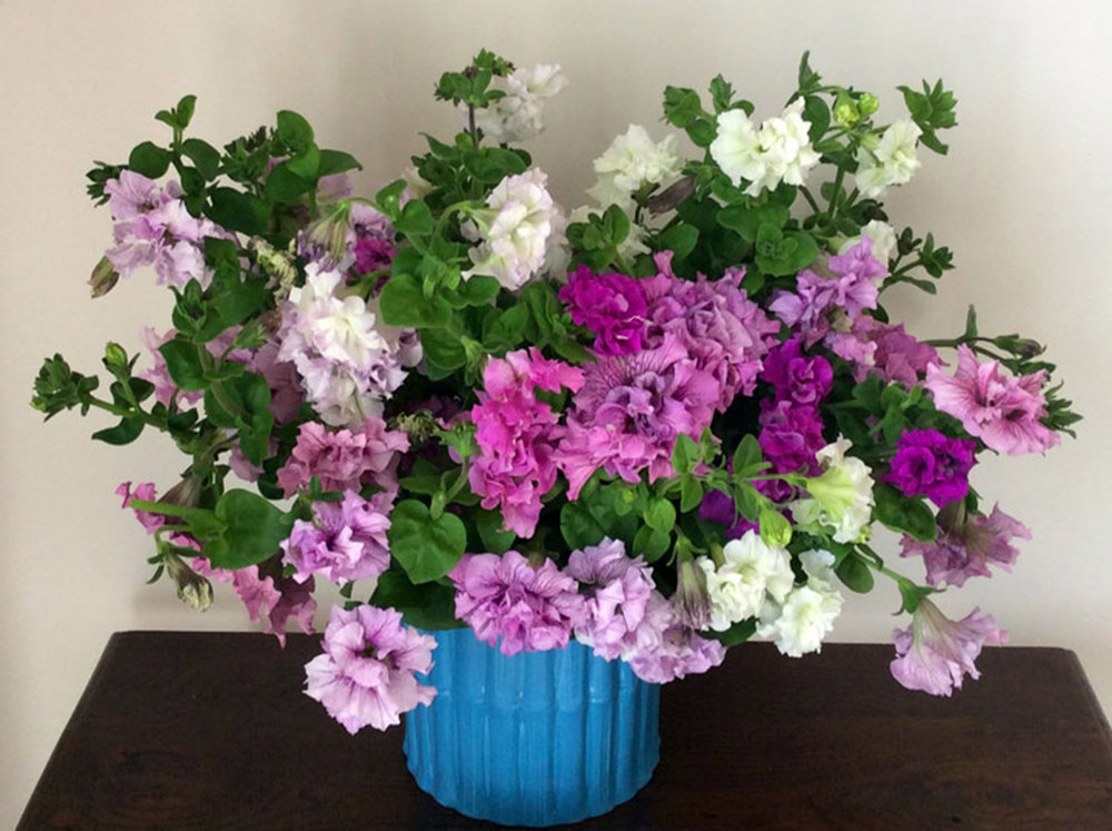 """Petunia,  Petunia grandiflora,  'Allegra Mix':  With all the interest in pansies as cut flowers, I thought I'd take a look at this other old-fashioned bedding plant. I really want it to be a cut flower!! It's got these huge double ruffly petals, and supposedly gets 30"""" tall. Seeds from  Geo , through  Farao."""