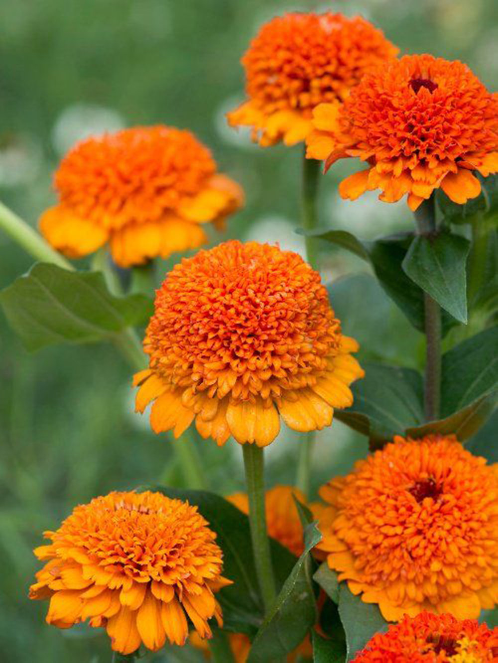 """Zinnia,  Zinnia elegans,  'Cresto Mix,' 'Mazurkia', 'State Fair':  As I mentioned in my 2018 variety review post, I never get double flowers on the crested zinnias like Zinderella. 'Cresto Mix' from Geo promises 75% double flowers - we'll see! 'Mazurkia' is a bicolor zinnia that normally wouldn't strike my fancy, but hey, I already have 25 varieties of zinns to plant, so what's one more, eh? Maybe I'll suprise myself. Seeds from  Geo , Floret, Baker Creek, Harris, Swallowtail. 'State Fair' is a variety with absolutely HUGE flowers, all at least 5"""" across and very productive for all that. They're also reliably double. I grew them as a landscaping cut in 2018 and just fell in love - I thought they were incredible."""