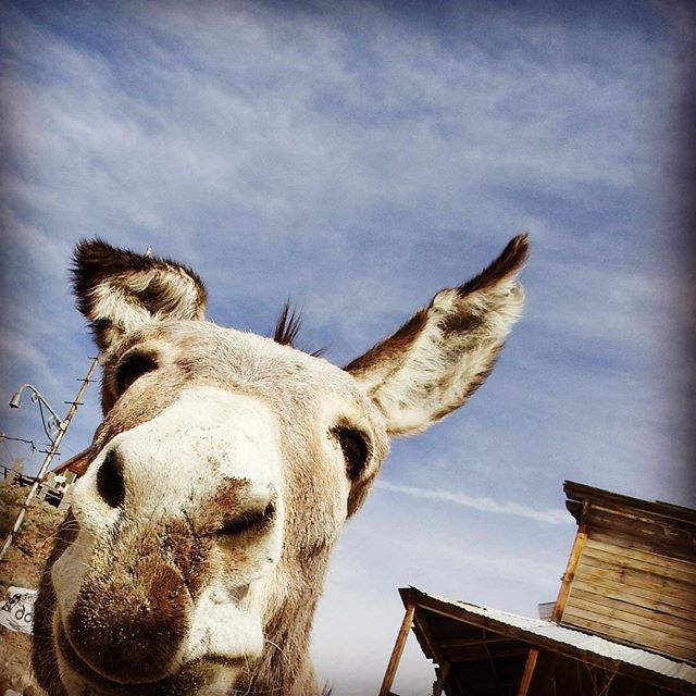 Burro. #phototour #hiddenwondersphototours #oatman #kimtinuviel #kimtinuvielartist #arizonaphotographer