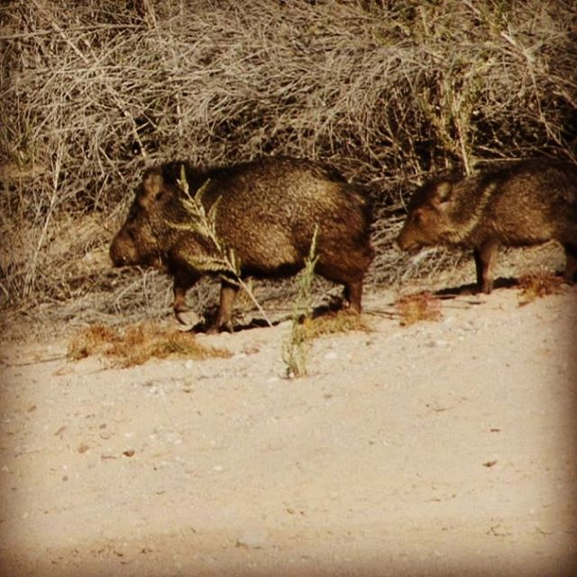 Javelinas along the shore at Lake Havasu. Join me for a private and customized Hidden Wonders Photo Tour! #desertwildlife #lakehavasu #javelina #arizonaphotographer #kimtinuviel #kimtinuvielartist