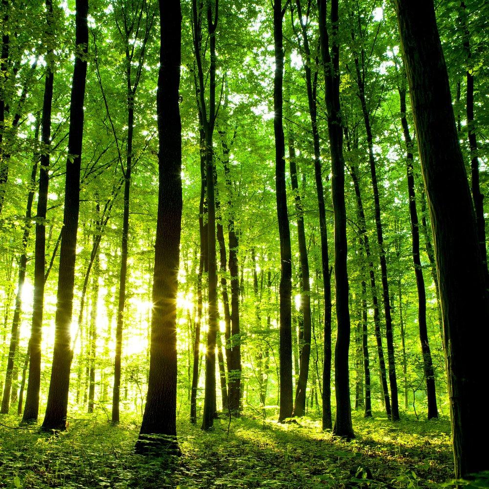 shutterstock_111537713-crop - Forest light emrerging.jpg
