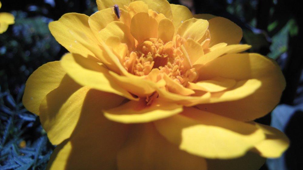 IMG_2202 Yellow Rose With Small Bug_1024.jpg