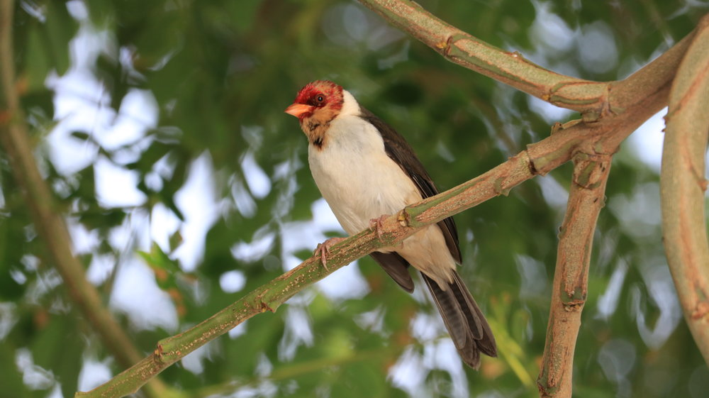 IMG_1269 - Tuxedo Bird With Red Head.JPG