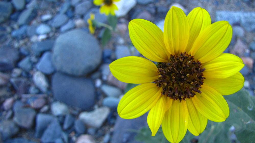 Yellow Blossum.JPG