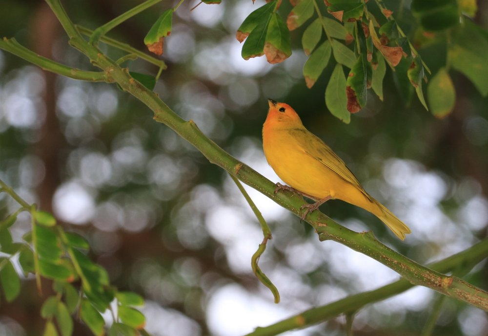 Little Yellow Bird