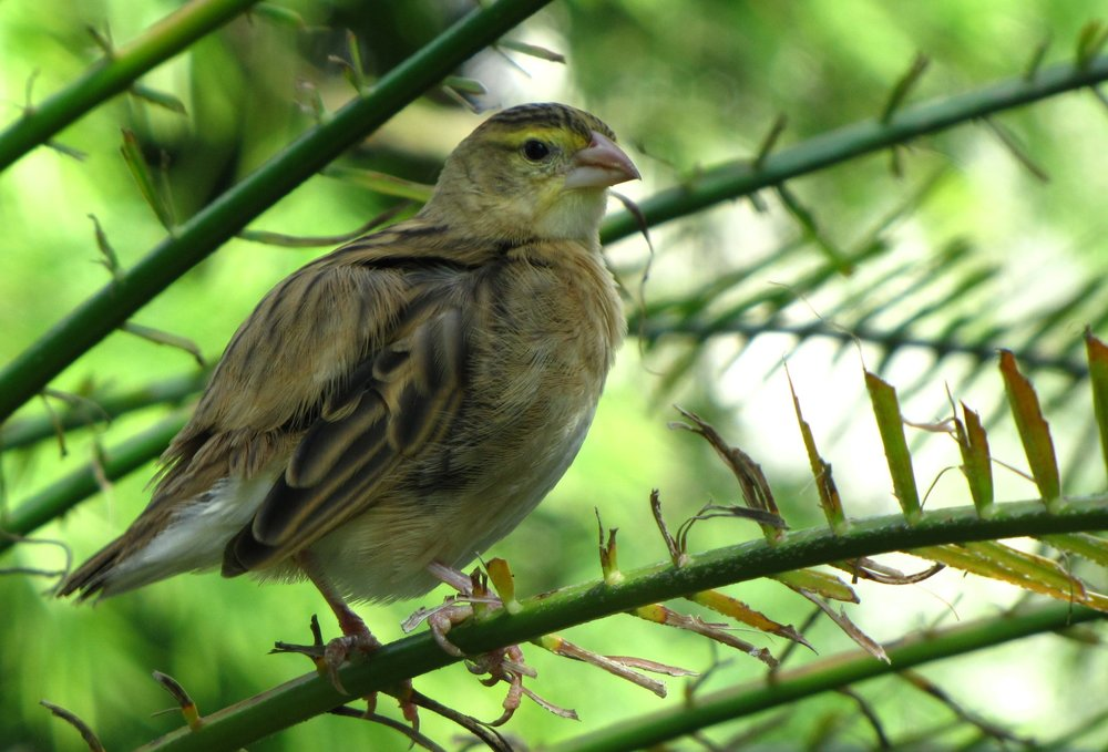 Yellow Striped Birdie