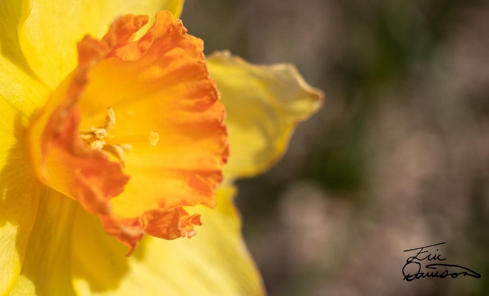 Daffodil Dish