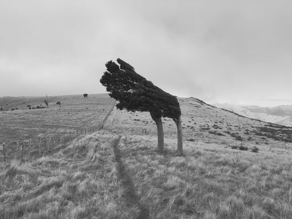 Windswept tree.jpg
