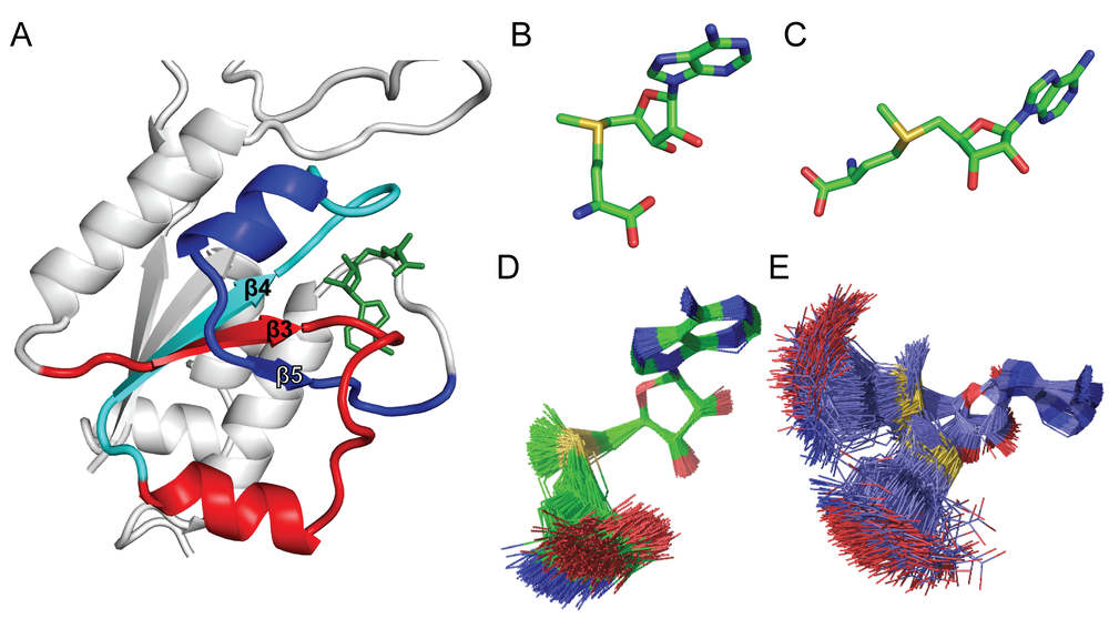 Figure 3: TrmD has a trefoil-knot structure in the active site