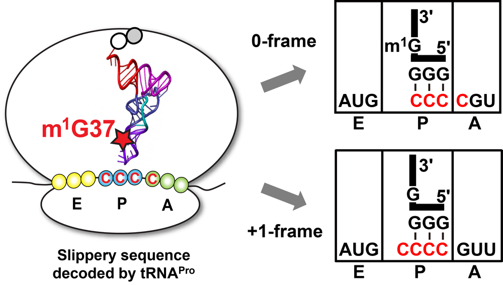 Figure 6: m1G37 inhibits ribosomal +1-frameshifts