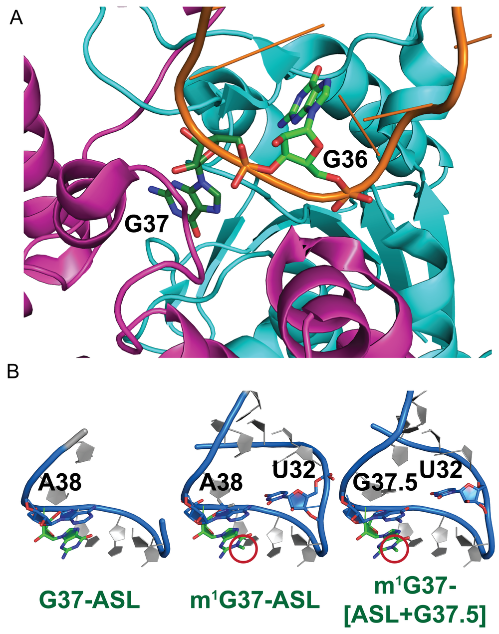Figure 4: G36 is required for m1G37-methylation by TrmD, which stabilizes the ALS structure