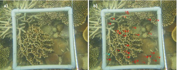 Figure 9. a) Photo-quadrat of a field coral transect. b) Photo-quadrat containing 30 randomly distributed spatial points originated by the CPCe program