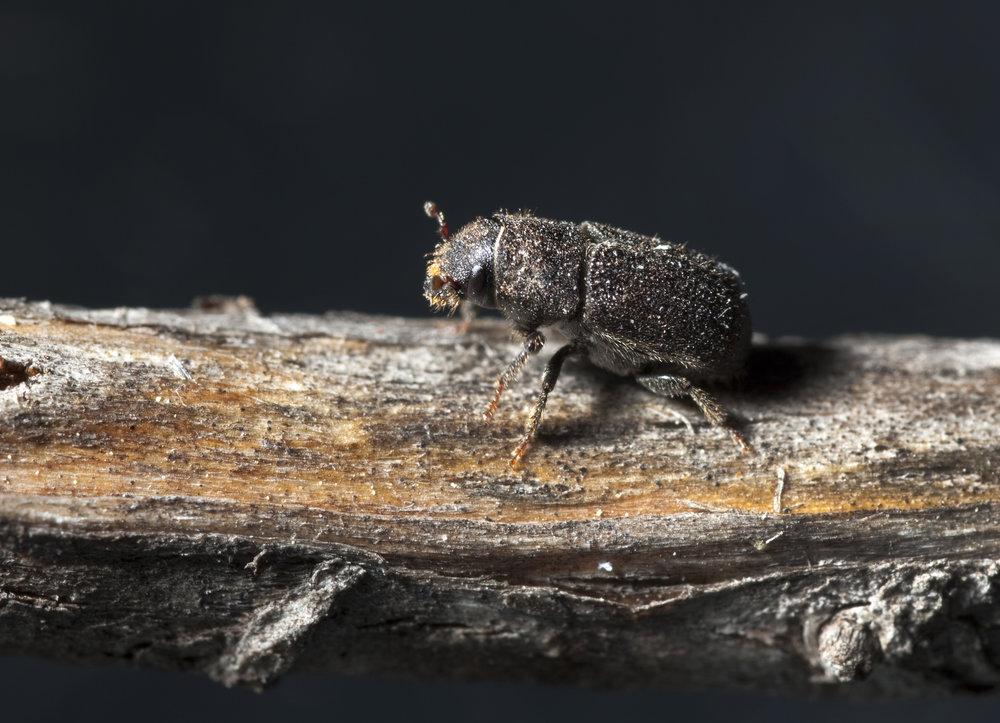 Mountain Pine Beetle, Dendroctonus ponderosae