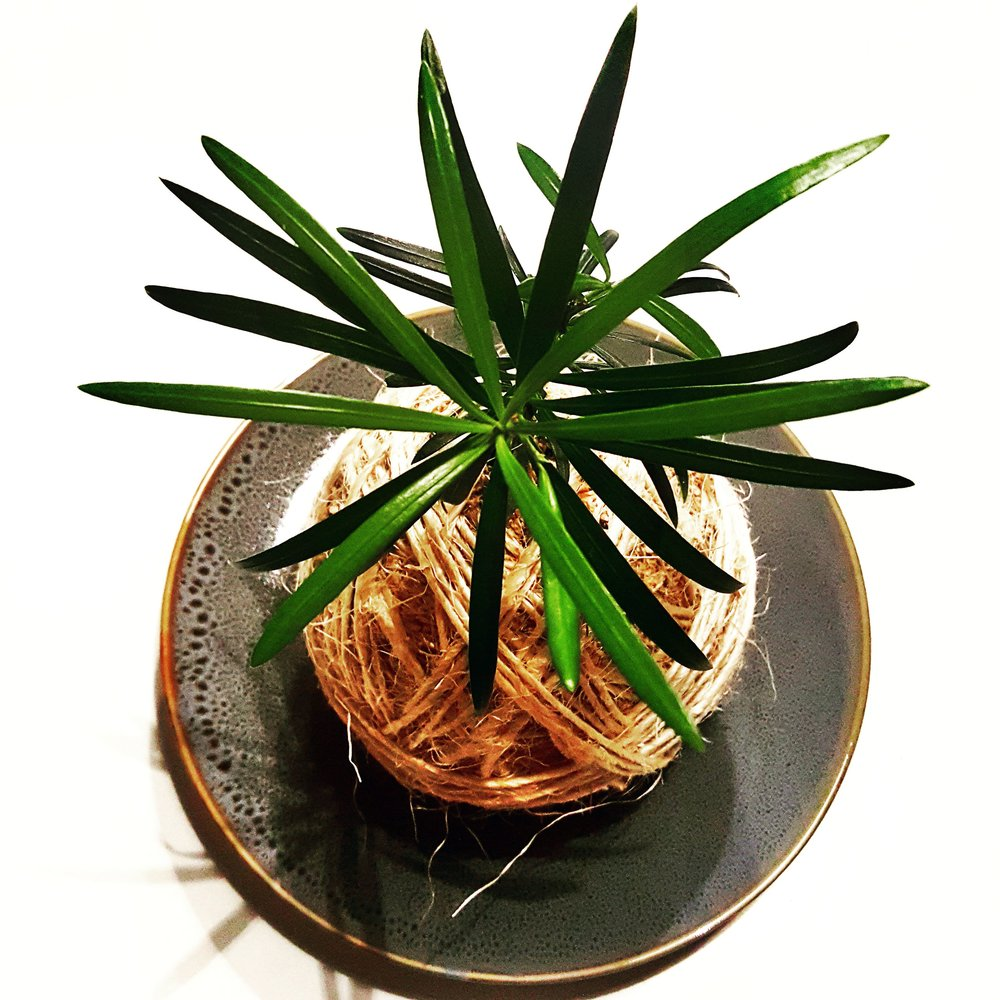 KOKEDAMA - Light: Your kokedama is made from shade-loving or indoor plants. They will thrive in any bright room in the house.Water: Your kokedama loves a good bath. Once a week, submerge it in a lukewarm bath for 10 to 20 mins. Let the soil dry out between baths. Prune: This is really up to you. You can keep your kokedama short or let it grow. It is important to note that if you allow the plant(s) get too large, the roots will begin to sprout through the moss ball which can be trimmed. Again, this is a personal preference as some of you may love the effect while others would like to keep it neat and tidy.