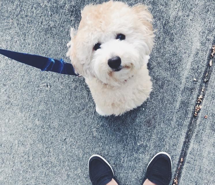 cute-miniature-poodle