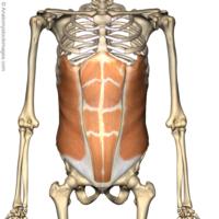 Rectus abdomen
