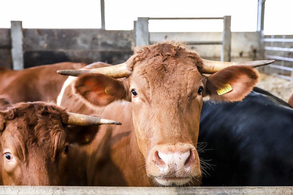 cow-edit-1600.jpg
