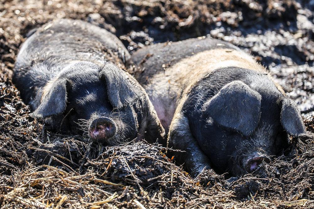 pigs-1600.jpg