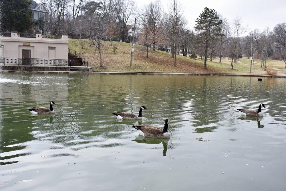 Clifton Park Geese