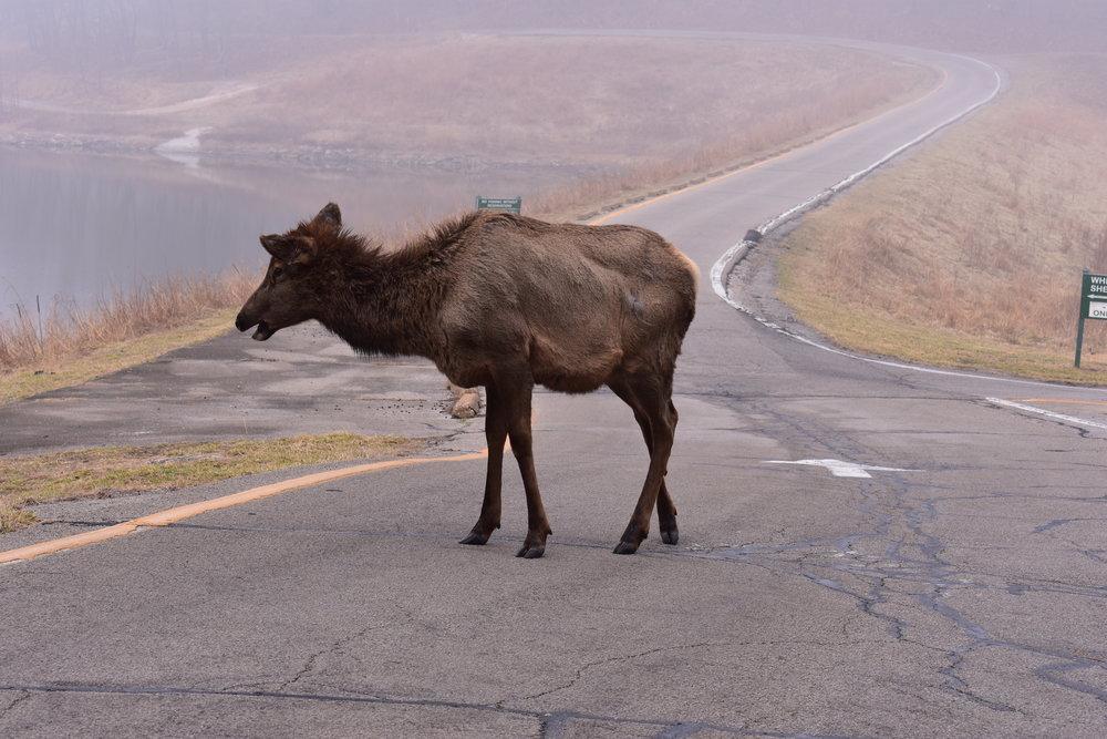 Lone Elk Park Elk