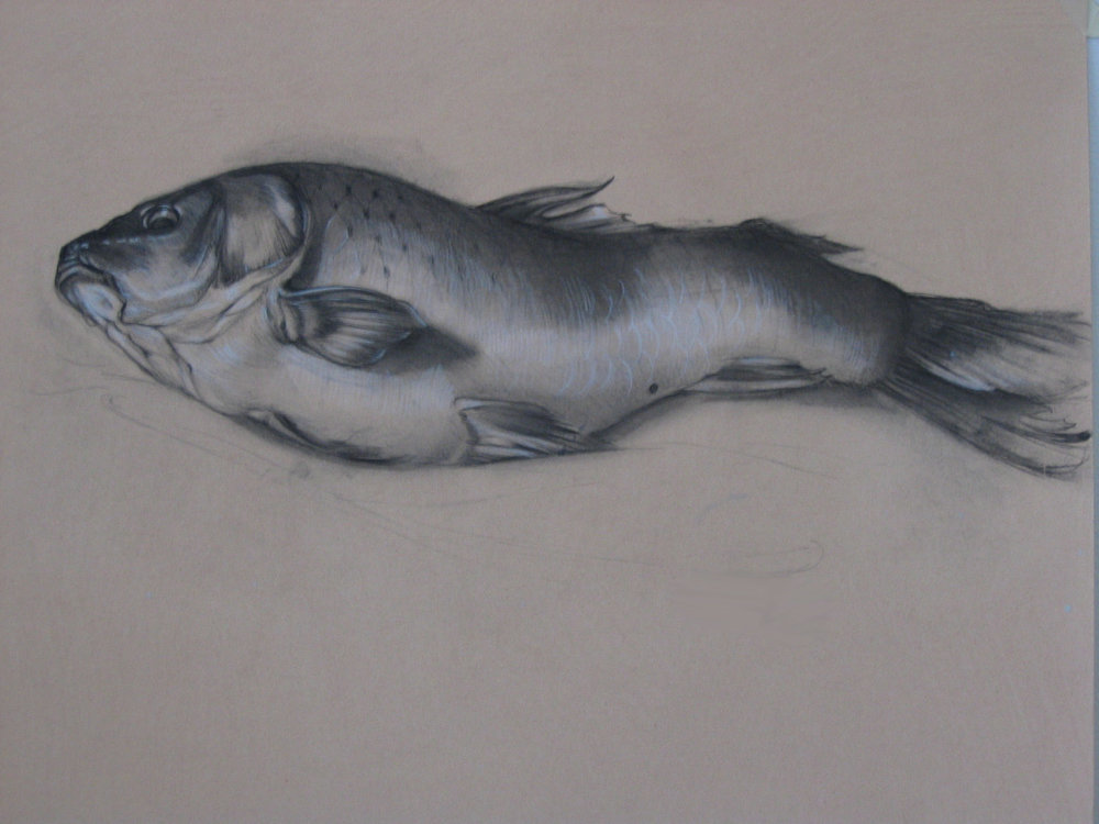 Poisson, charcoal on archival paper, 24 x 19""