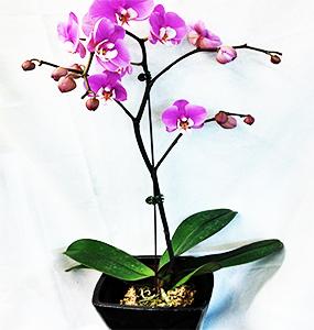 Phaelenopsis-orchids.jpg