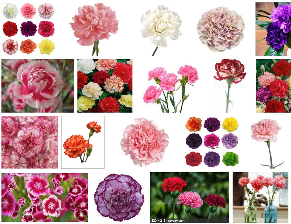 Live Carnations.jpg