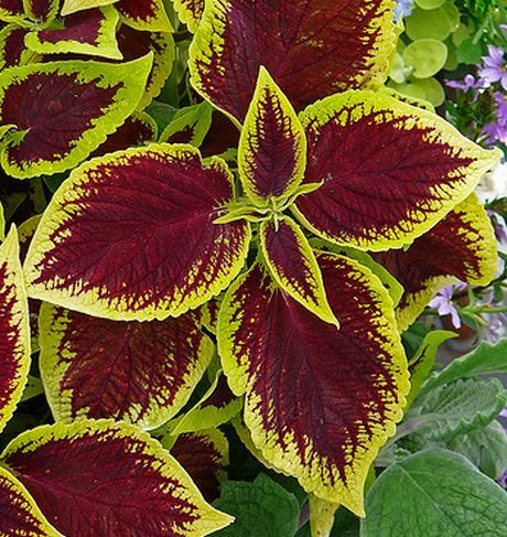 Coleus-Painted-Nettle.jpg