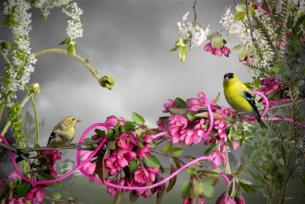 Goldfinch and Pink Cord, 2015, Pigment Ink Print, 24 x 36""