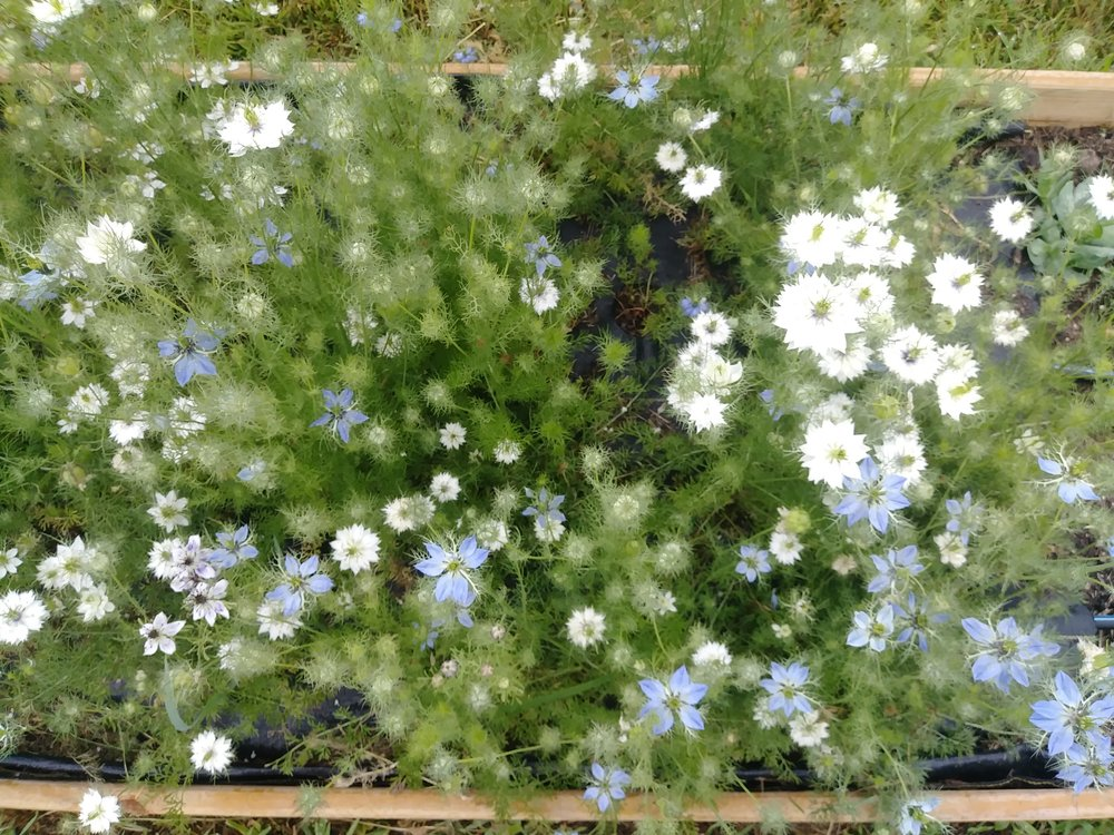 Love-in-a-Mist (Nigella)