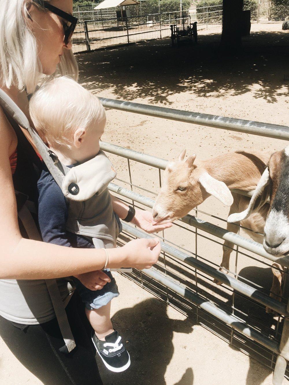 Feeding goats at Bates Nut Farm