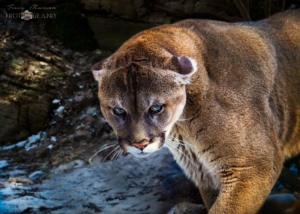 A photo of a Mountain Lion staring directly into the camera, by Canadian Nature Photographer, Tracy Munson.