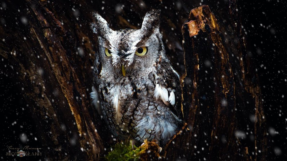 A photo of a Screech Owl in the snow, by Canadian Nature Photographer, Tracy Munson.