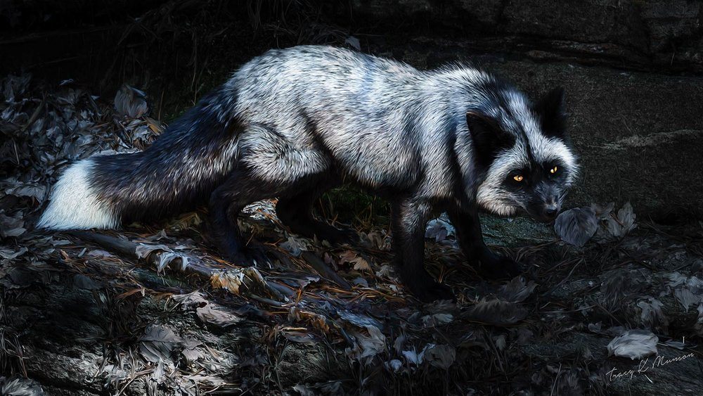 A photo of a Silver Fox in moonlight, by Canadian Nature Photographer, Tracy Munson.