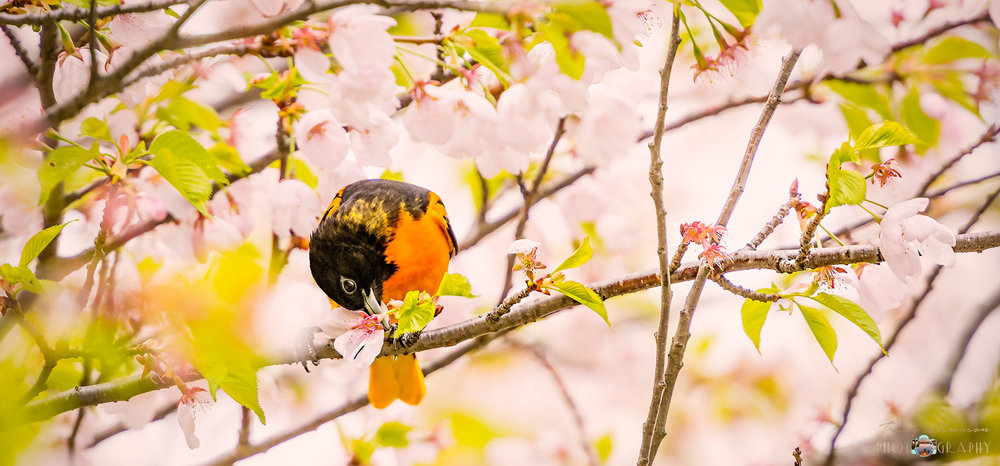 A photo of a Baltimore Oriole eating Cherry Blossoms, in High Park, Toronto, by Canadian Nature Photographer, Tracy Munson.