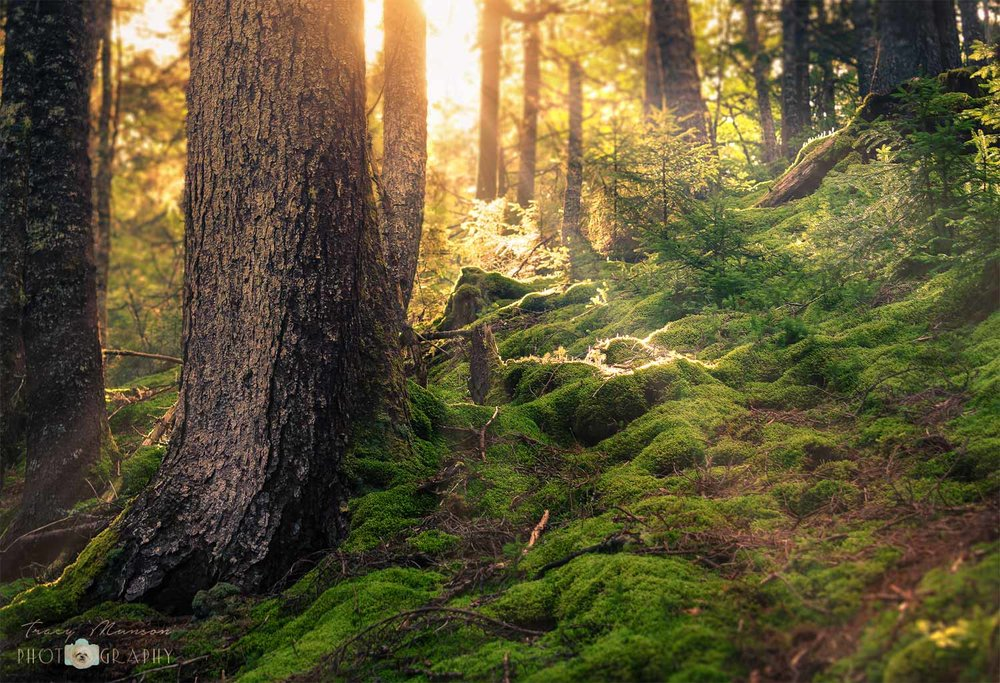 A photo of a sunbeam, streaming through the forest in Fundy National Park, New Brunswick.