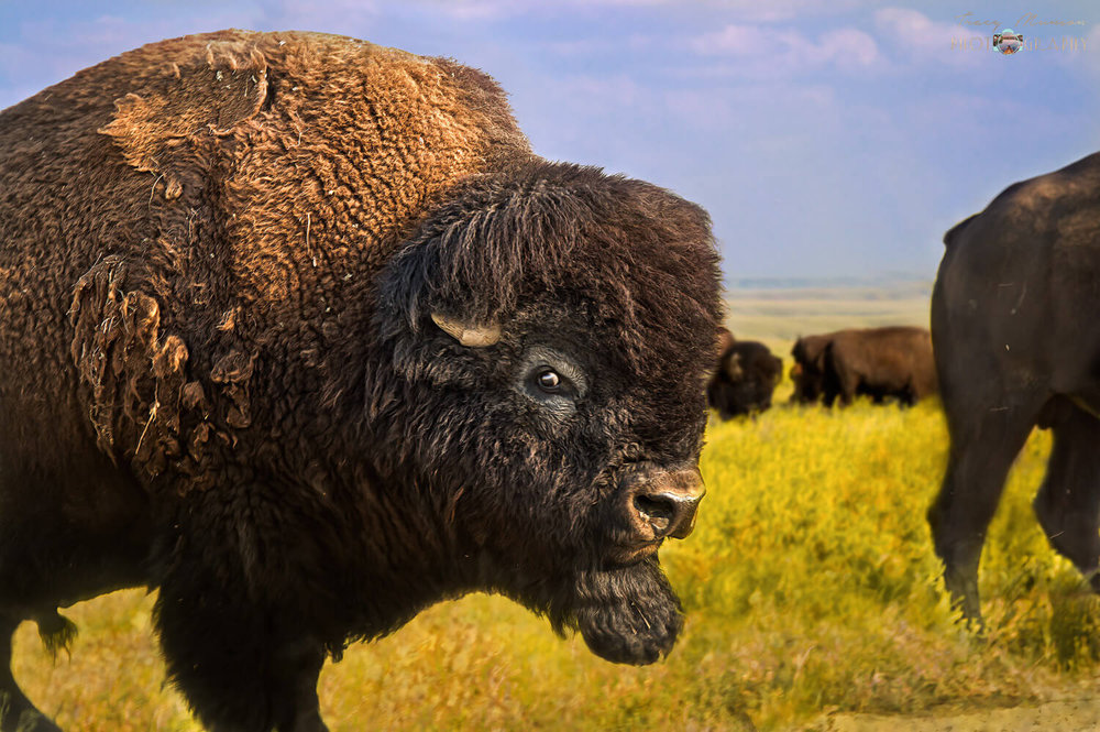 A photo of a large male bison in front of a yellow canola field, by Canadian Nature Photographer, Tracy Munson.