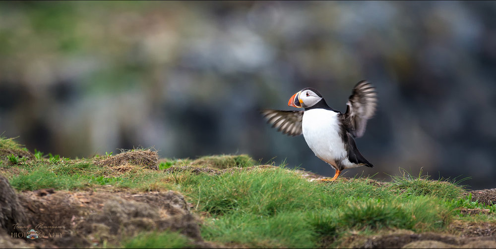 A photo of an Atlantic Puffin flapping his wings at the edge of a cliff, by Canadian Nature Photographer, Tracy Munson.