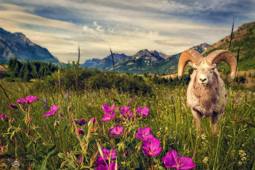 A photo of a Bighorn Sheep in a wildflower meadow in Waterton Lakes National Park, Alberta, by Canadian Nature Photographer, Tracy Munson.