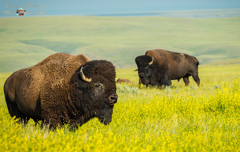 A photo of free roaming bison in Grasslands National Park, by Canadian Nature Photographer, Tracy Munson.